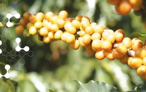 fertilizantes-para-cafe